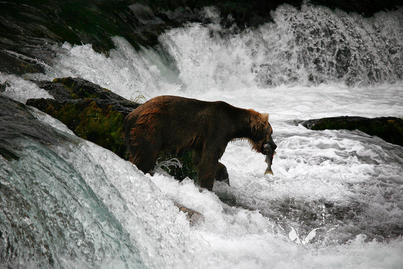 August 2011. A brown bear just caught a salmon at Brooks Falls.