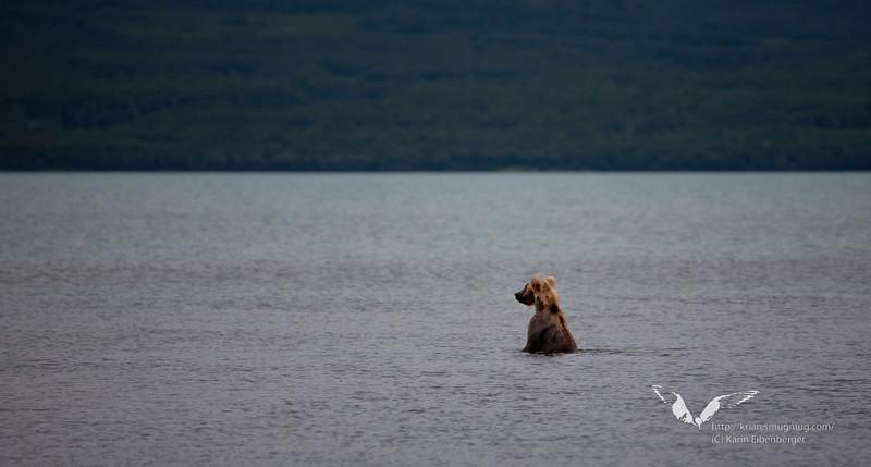 August 2011. A brown bear in Naknek Lake, fishing for salmon.