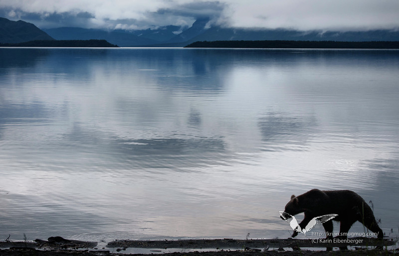 August 2011. A brown bear at Naknek Lake. This guy is just passing our campsite and tent.