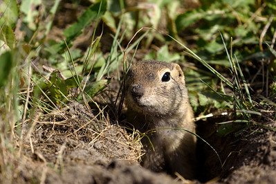 Richardson's ground squirrel (Urocitellus richardsonii)