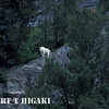 Mountain goat- somewhere in between Jasper and Lake Louise
