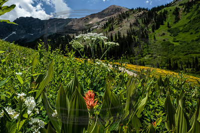 """False Hellebore, Indian Paintbrush, Sunflower, Lupine, with Devil's Castle in the back, and """"Utah Blue"""" above."""