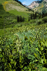 False Hellebore and a view of Little Cottonwood Cnyn