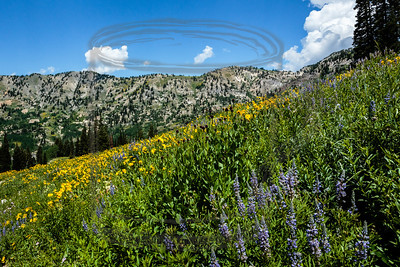 Lupine and sunflowers