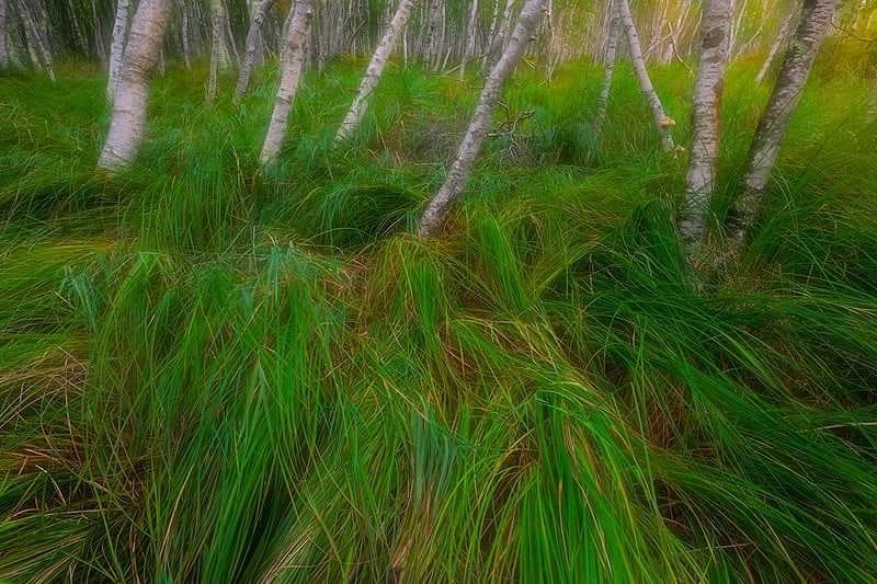 Acadian Sedge, Acadia National Park