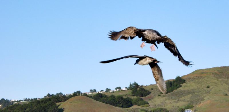 Two gulls in flight