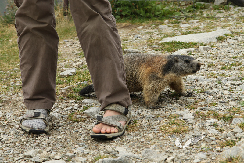 August 2012. Me, a swollen toe and a marmot.