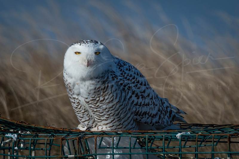 Snowy Owl in Westport