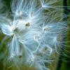 Milky Weed