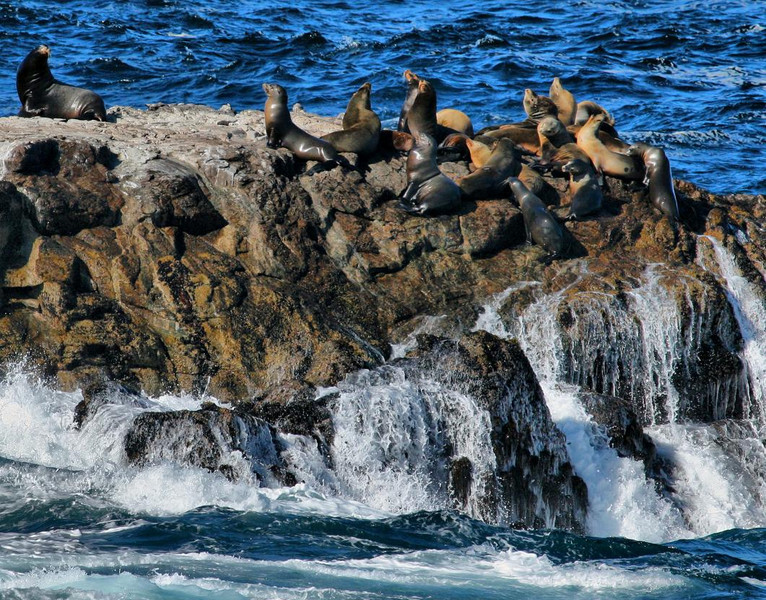 Point Lobos, Calif., Big Sur coastline south of Monterrey. March 2007. The large Seal to the left was posturing as the Alpha male in this seal colony. Rough wave action here is not uncommon in early Spring. Early spring (March) also brings huge groups of Brandt's Cormorants nesting nearby in colorful and fascinating scenes that are located close to observation trails, creating a photographer's paradise.