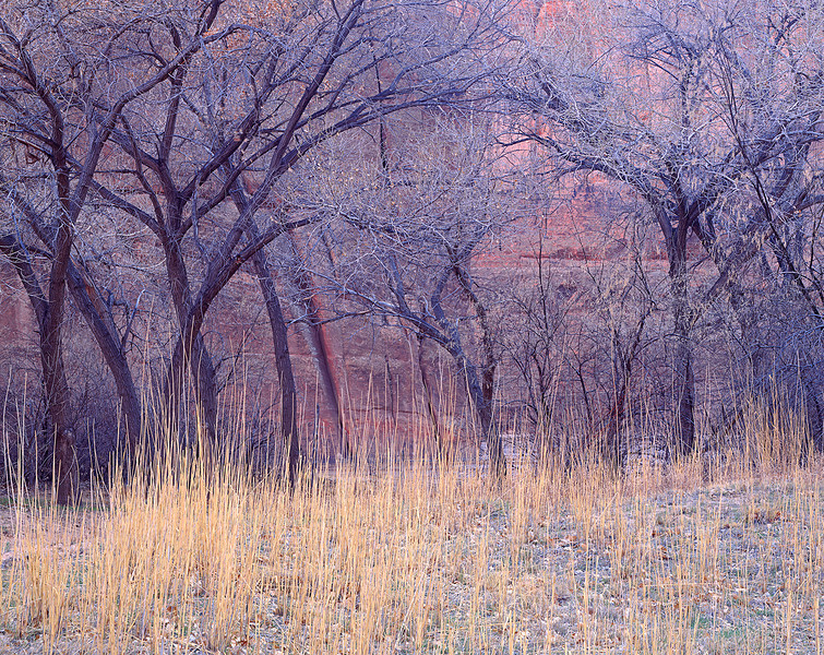 Cottonwoods, grass, early spring