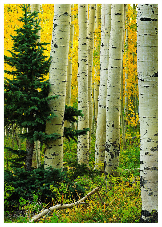 Evergreen and aspen, fall