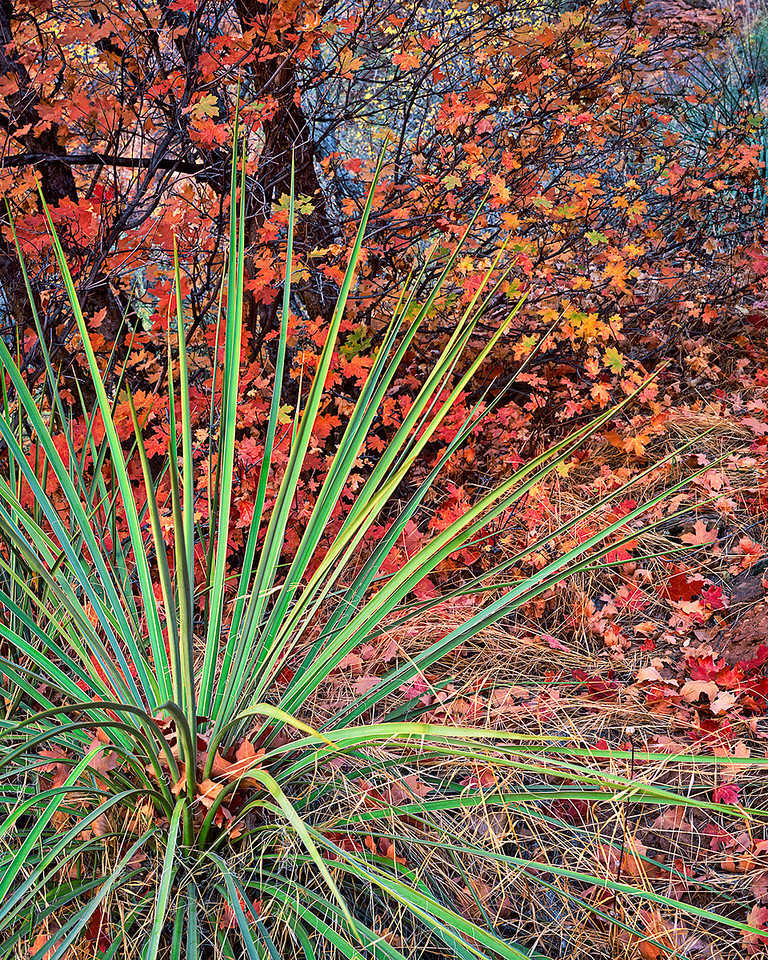Yucca and maple, fall