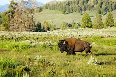 Profile of a Buffalo