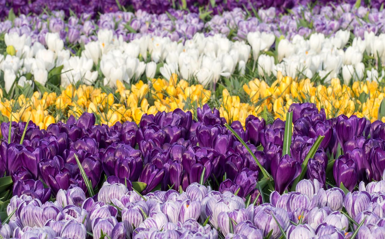 Flowers in Keukenhof Gardens,  Amsterdam