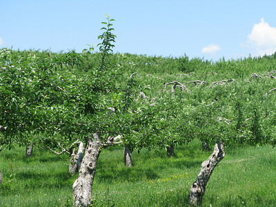 An Orchard Near Cazenovia