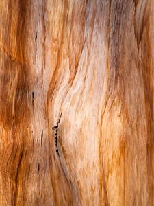 Bristlecone Pine 930