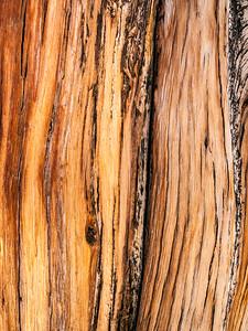 Bristlecone Pine 299
