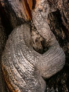 Bristlecone Pine 473