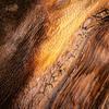 Bristlecone Pine 782