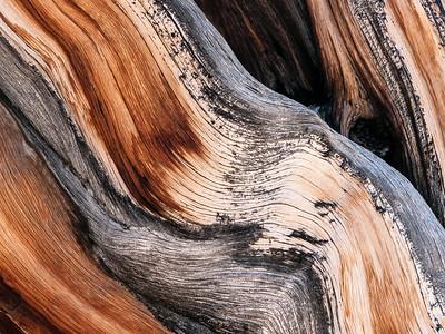 Bristlecone Pine 371