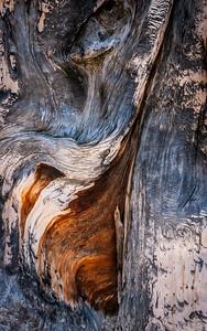 Bristlecone Pine 407