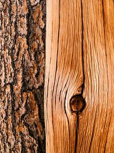Bristlecone Pine 116