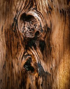Bristlecone Pine 871