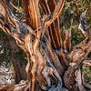 Bristlecone Pine 628