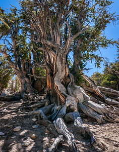 Bristlecone Pine 595