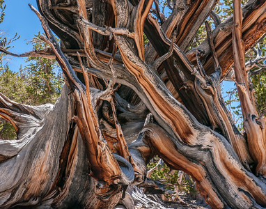 Bristlecone Pine 367
