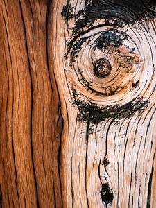 Bristlecone Pine 086