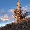 Praying Pine