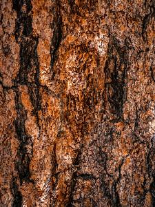 Bristlecone Pine 805