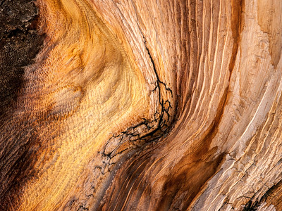 Bristlecone Pine 785