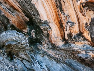 Bristlecone Pine 887