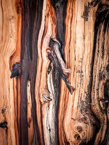 Bristlecone Pine 960