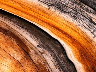 Bristlecone Pine 839