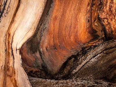 Bristlecone Pine 773