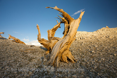 An ancient bristlecone near Patriarch Grove at sunset, over 11,000 feet in the Ancient Bristlecone Pine Forest above Bishop, CA.