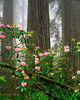 Ancient redwoods and rhododendron, evening fog