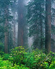 Clearing fog. Redwood forest and rhododendron