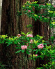 Redwoods and rhododendron bloom
