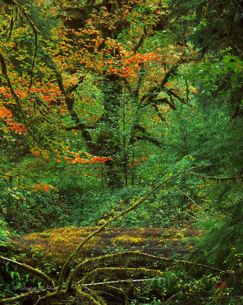 Creekbed, maples, fall