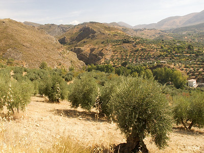 Non-commercial olive groves, Quentar, Granada Province