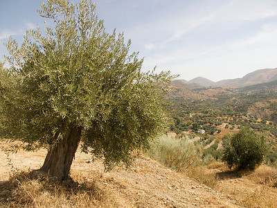 Ancient olive groves, Quentar, Granada Province