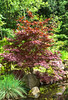 Japanese Maple-1