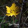 55  G Maple Leaf