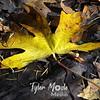 57  G Maple Leaf on Trail