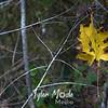 52  G Maple Leaf